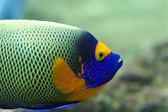 *** (fabiogis50) Tags: blue fish nature yellow closeup canon aquarium searchthebest ngc harmony soe floraandfauna amazingcolors smrgsbord animalphotography wonderfulnature fpc goldenmix golddragon beautifulmothernature anawesomeshot impressedbeauty feelinghappy photosandcalendar excellentphotographerawards voyageursdumonde overtheexcellence wonderfulworldmix picturefantastic medalhadeouro betterthangood theperfectphotographer yourpreferredpicture natureselegantshots spiritofphotography colourvisions losmejoresmomentosdetuda salveanatureza rainbow11gallery flickrfloresemacros panoramafotografico mygearandmepremium mygearandmebronze mygearandmesilver mygearandmegold mygearandmeplatinum mygearandmediamond aboveandbeyondlevel4 aboveandbeyondlevel1 aboveandbeyondlevel2 aboveandbeyondlevel3 vigilantphotographersunite vpu2 vpu3 vpu4 vpu5 vpu6 vpu7 vpu8 vpu9 vpu10
