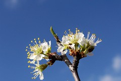Beginnings of Spring in Texas (ladybugbkt) Tags: blue sky cloud white flower tree geotagged petals spring texas grow bloom onblue kodakz712is top20everlasting top20texas bestoftexas