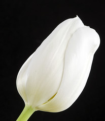 Tulip 83, Colorado (sethgoldstein72) Tags: flowers paradise searchthebest thebest flowerbox photoclub beautifulflowers floralia fotocommunity floralfantasy macromania kartpostal photographyrocks agradephoto bforbeauty awesomeshotgroup brilliant~eye~jewel brilliant~eye~jewels aclassgroup natureiswonderful flickrsfantasticflowers fabulousflora crazyaboutnature worldofflowers arealgem exquisiteflowers qualitypixels beautifulshot floresporlapaz auniverseofflowers flickrsawesomeblossoms awesomeblossoms flickrflorescloseupmacros grrreatworks ohnonotanotherflower thatsalmostperfect flickrsmasterpieces flickrmasterpieces creativeyeuniverse abundantflowers greatshotss magnificentmacros passionforflowers musicsbest musicfriends~ourverybest gardenparadise floralfantasia simplybeautifulphotos allaboutflowers absolutelyperrrfect aphotographersnature flowersonflickr coloursofflowers excellenceofholycreationsofnature excellentmacroflowers beautifulflowersgallery aardvarksandartichokes hellofriend floraaroundtheworld nikondxgallery flowersgloriousflowers artdigitalartistsphotoart