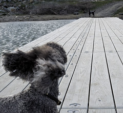 Docked | Undocked (The Pack) Tags: lake dogs oregon silver dock wind mercury tag blowing ears poodle standard ashland bestinshow standardpoodle pinkshoe emigrantlake 20mmf18 thelittledoglaughed oregontata thepack:a=1