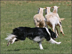 Do What You Love (Dave Delay) Tags: sheep sheepdog newhampshire nh bordercollie sheepandwoolfestival
