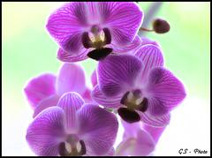 HDR Orchid (Giulio Speranza) Tags: flowers orchid fiori hdr orchidea abigfave platinumphoto brillianteyejewel overtheexcellence flickrslegend goldstaraward