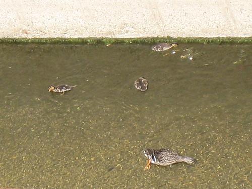Mama w/ Baby Ducks