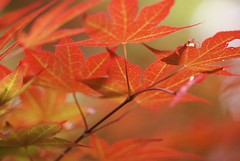 It all stems from . . .  a Japanese Maple