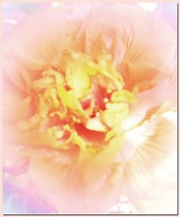 Camelia - Frilly Pink (virtually_supine popping in and out) Tags: flowers manipulation camelia photoshopelements floralcreations