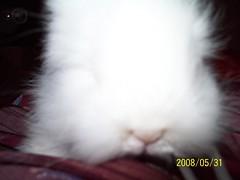 Introducing LATTE (wardahputeri) Tags: white cute rabbit bunny coffee beautiful fur pretty comel adorable fluffy dwarfrabbit jerseywooly cuddly lil latte bun plushtoy bunbun huggable arnab plushtoys coffeelatte my mixbreedrabbit netherlandsdwarffrenchangoramixbreed arnabcomel mynameislatte lopearedangora