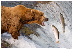 OMG! (Thi) Tags: bear park brown fall water waterfall salmon national grizzly brooks brownbear salmonrun grizzlybear brooksfalls katmai katmainationalpark