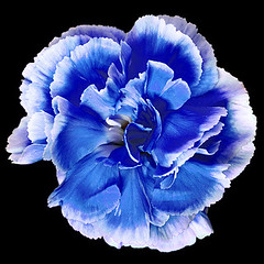 Carnation blue (Pawel Boguslawski) Tags: blue flower canon carnation  40d