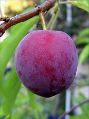 Almost ripe plum