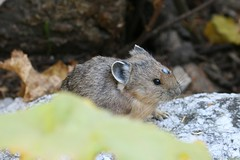 Pika (Beaver Creek, Wyoming, United States) Photo