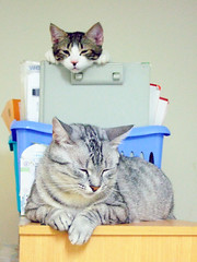 NANA and Banban (Chrischang) Tags: pet animal cat nana 貓 banban 20080605