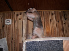 Pua pokes at the wood while she grooms