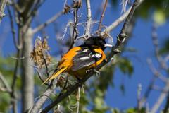 Baltimore Oriole {Icterus galbula}