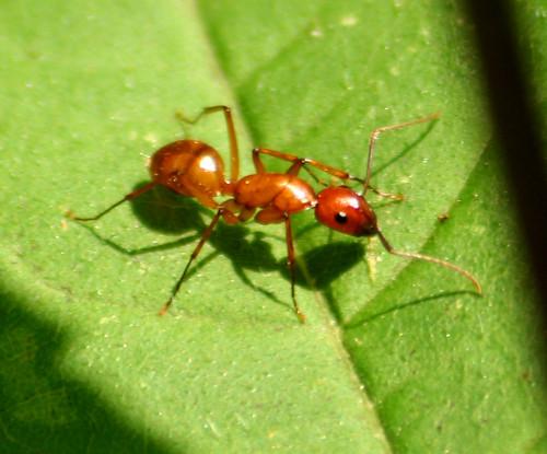 Camponotus castaneus or Camponotus americanus