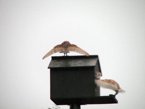 owl12