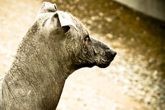 Peruvian Hairless Dog (Emilio Orantes) Tags: dog peru perro hairless calvo peruvian peruano sinpelos
