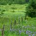 Field of Iris