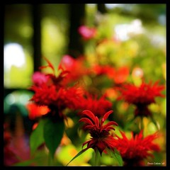 Rouge...!!! (Denis Collette...!!!) Tags: red canada flower fleur rouge photo quebec safari qubec walden collette photosafari impressionist denis thoreau homegarden portneuf firstquality monarde impressioniste visiongroup deniscollette pontrouge beautysecrets theperfectphotographer world100f obq vision100 mandalalight