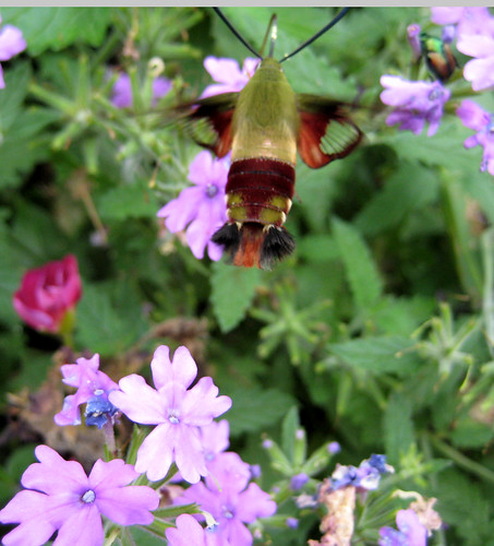 Hummingbird Moth on Verbena