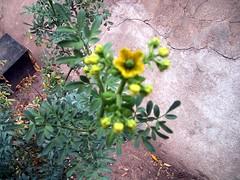 ruda con flor 2