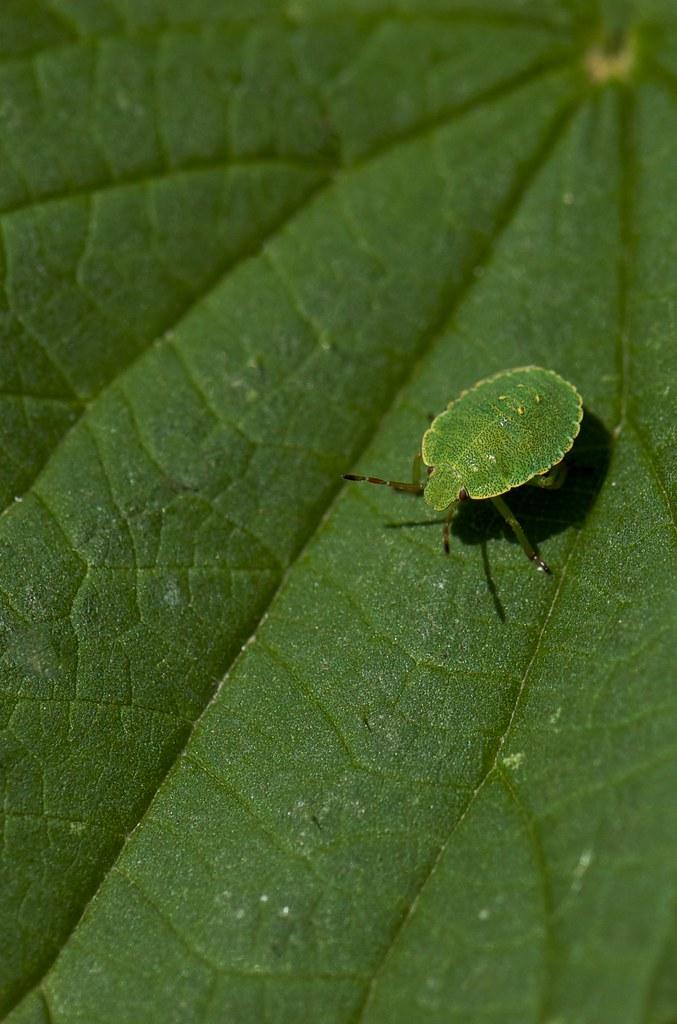 Bicho verde