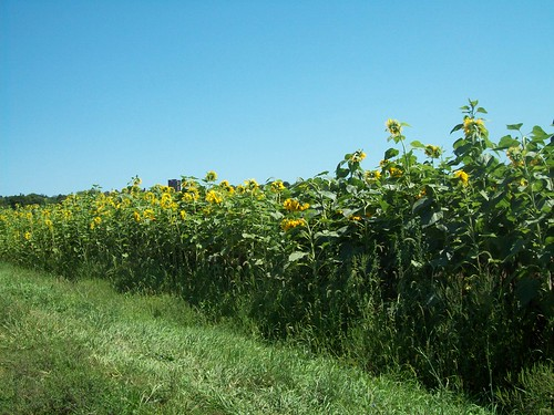 Sunflowers near New Paltz