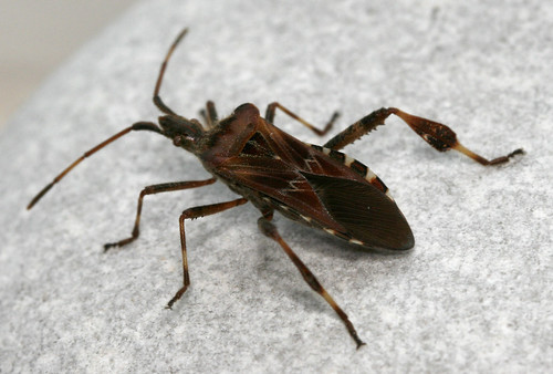 Leptoglossus occidentalis, St Leonards, East Sussex