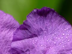 Purple and Green (jciv) Tags: desktop wallpaper flower macro green wet water droplets petals purple dew waterdrops raynox mexicanpetunia 430ex ruelliabrittoniana commonruellia desertpetunia file:name=img4486