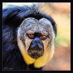 A monkey's uncle... (Light_Rider) Tags: red white black monkey eyes pale faced saki naturesbest headed aclass arboreal blueribbonwinner crystalawards exemplaryshots diamondstars