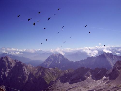 Zugspitze: Vögel (birds)