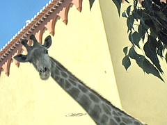Did you want to picture my neck ? OK. Now get lost! (MadalenaPestana) Tags: portugal neck fun zoo lisboa giraffe picturesque madalenapestana ysplix naturewatcher ilustrarportugal