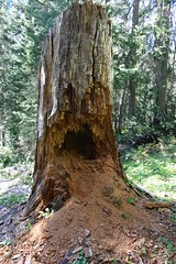 Vomiting tree