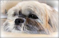 Manù (SILVY-08) Tags: cane cao cachorro cachorros cani caes s5800