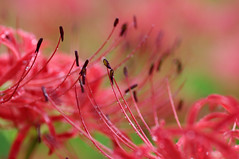 Campari Soda (bluehazyjunem) Tags: autumn red spider lily saitama 2008 naturesfinest  kinchakuda aplusphoto goldstaraward flickerlovers