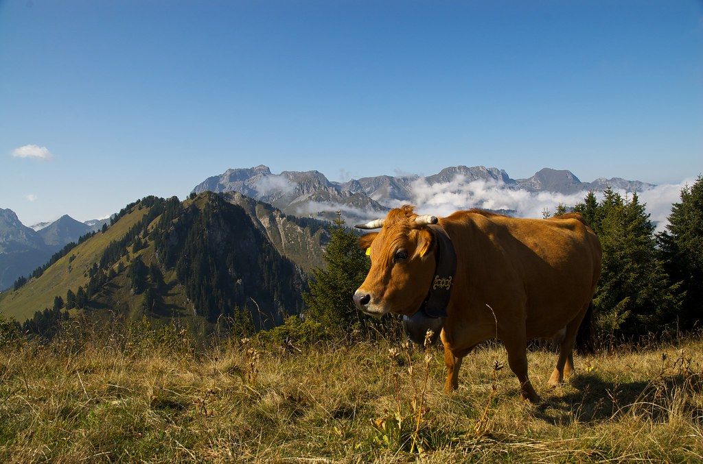 Mountain Cow