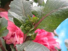 Another view! (bahareh220) Tags: pink flower macro green nature leaf iran tehran         wonderfulworldofflowers