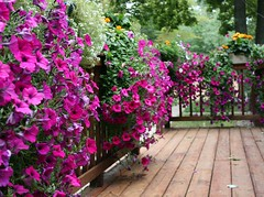 Wall of Petunias (akahodag) Tags: flowers wisconsin patio deck petunia anawesomeshot