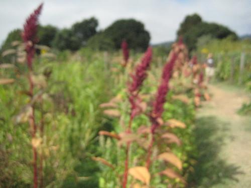 quinoa flora
