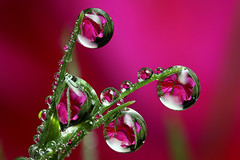 Fuchsia dewdrop refraction #2 (Lord V) Tags: flower macro water dewdrop naturesfinest ahqmacro alemdagqualityonlyclub alemdaggoldenaward vosplusbellesphotos macroqualityonlyclub