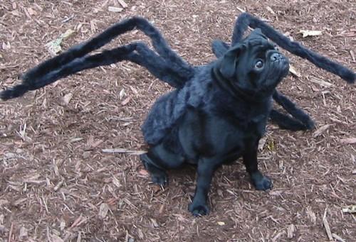 Gus costume Pug Tarantula