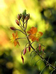 Bulbine (theroadhere) Tags: orange flower nature texas blossom bloom hallmark nambia starshaped cultivated bulbine bulbinefrutescens 5petals fortworthbotanicgarden bokehlicious yellowstamen estremit canonpowershots5is mimamorflowers yellowpistil hoyahmc1 hoyahmc2 goldbokeh flickrflorescloseupmacros featherystamen