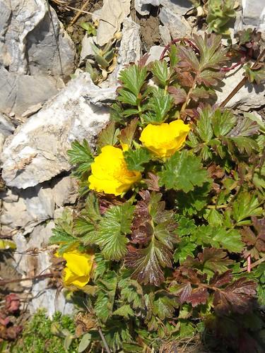 Alpine Avens (Geum montanum)