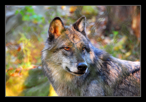 Grey Wolf in Autumn by Mike the B.