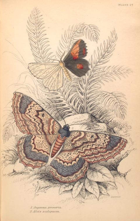 1. Angerona prunaria; 2. Alcis scolapacea.  (1843)