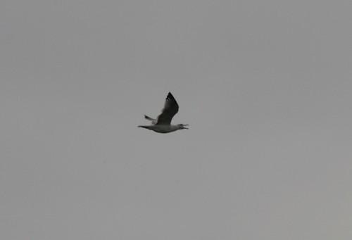 Larus armenicus (Armenian Gull)