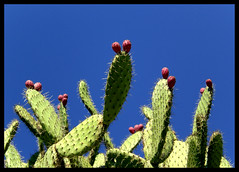 Chumberas (Tortuguilla) Tags: cactus espaa andalucia cadiz cdiz rota higos chumbera abigfave estremit theunforgettablepictures tortuguilla casioexz77