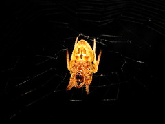 """We ponder God's soapless showers and eternal singing and dancing while spidy contemplates:  """"Who is my next meal""""_2991 (jaciii (off&on)) Tags: friends white black yellow silver gold spider web gray shiningstar onblack spiderlegs mywinners anawesomeshot anaweswomeshot thebestpicturegallery straightfromcamerawithcrop spiderstomach magnificentmacros betterthantheirbests"""