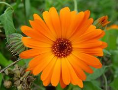 Close up..... / Daisy (Zopidis Lefteris 2008) Tags: flowers flower closeup village hellas greece macedonia daisy thessaloniki lefty orangecolor lefteris eleftherios   zop  zopidis zopidislefteris macromarvels leyteris        eleytherios   mayroraxi mauroraxi mavroraxi mabroraxi