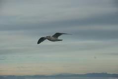 steady flight (luisar) Tags: whidbeyisland island2008 2008whidbey