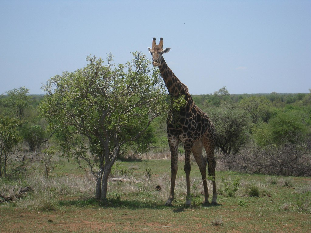 Giraffes were a common sighting